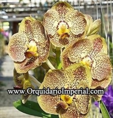 "Orquídea - Ascda. Kulvadee Fragrance ""Golden Brown"" (Adulta)"