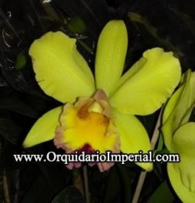 Orquídea - Blc. Catarina Hong (Adulta)