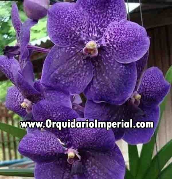 "Vanda Robert Delight ""Ink Star"""